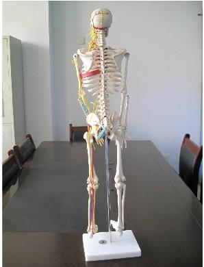 手臂骨手臂骨骼结构图