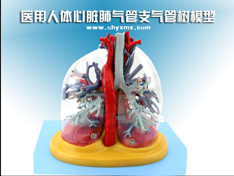 医用人体心脏肺气管支气管树模型说明